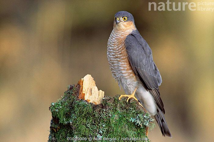 Sparrowhawk male perched on alder stump. (Accipiter nisus) Scotland  ,  HAWKS,EUROPE,BIRDS OF PREY,BIRDS,MALES,UK,PORTRAITS,STUMP,VERTICAL,United Kingdom,British  ,  Niall Benvie