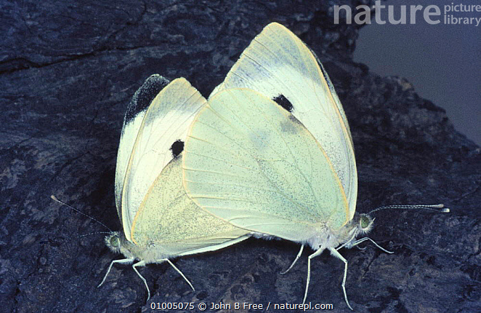 Large white / Cabbage white butterfly (Pieris brassicae) mating, England, UK  ,  ARTHROPODS,BUTTERFLIES,BUTTERFLY,COPULATION,ENGLAND,EUROPE,INSECTS,INVERTEBRATES,LEPIDOPTERA,MALE FEMALE PAIR,PAIR,TWO,UK,United Kingdom,Reproduction,British, United Kingdom  ,  John B Free