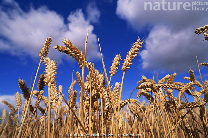 Ripe Winter Wheat (Triticum aestivum) against blue sky, Scotland  ,  AGRICULTURE,CEREALS,CROPS,EDIBLE,EUROPE,GRAMINEAE,GRASSES,MONOCOTYLEDONS,PLANTS,POACEAE,SCOTLAND,SKY  ,  Niall Benvie