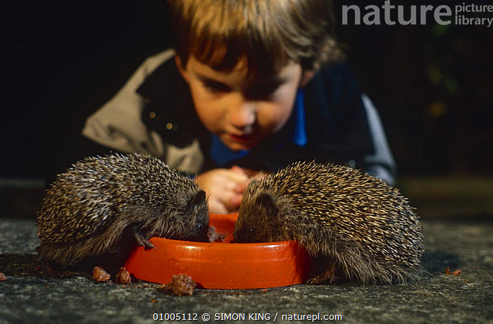 Two Hedgehogs {Erinaceus europaeus} eating out of dog bowl with  child watching, England.  ,  CHILDREN,ENGLAND,FEEDING,HEDGEHOGS,INSECTIVORES,INTERACTION,MAMMALS,NIGHT,PEOPLE,VERTEBRATES,WILDLIFE,Europe  ,  SIMON KING