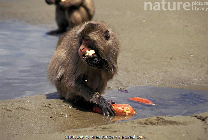 Japanese Macaque {Macaca fuscata} washing sweet potato in water. Koshima Island, Japan, PRIMATES,MAMMALS,SEASONS,TOOL USING,ASIA,FEEDING,INTERESTING,WATER,MACAQUES,BEHAVIOUR,MONKEY,Monkeys, Miles Barton