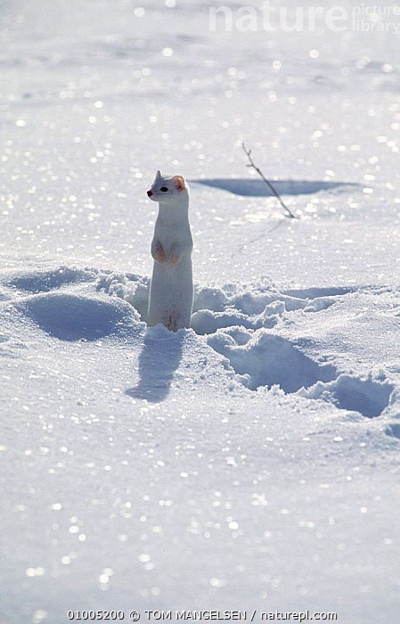 Stoat / Ermine in winter coat (Mustela erminea) Grand Teton NP Wyoming, USA, MAMMALS,SNOW,WEASELS,CAMOUFLAGE,CARNIVORE,WHITE,COLOUR MORPH,STANDING,USA,North America,Mustelids ,Rocky Mountains,, TOM MANGELSEN