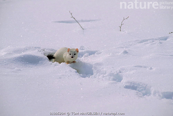 Stoat / Ermine in winter coat (Mustela erminea) USA.  ,  CAMOUFLAGE,MAMMALS,USA,WHITE,WEASELS,SNOW,NORTH AMERICA,MUSTELIDS  ,  TOM MANGELSEN