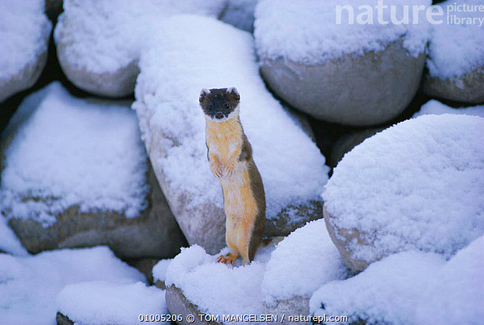 Stoat /Ermine in snow but in summer coat (Mustela erminea)  ,  CARNIVORES,COLOUR PHASE,ERMINE,MAMMALS,NORTH AMERICA,STANDING,USA,WEASELS,WINTER,WYOMING,Mustelids  ,  TOM MANGELSEN