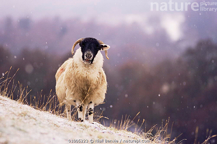 Domestic Black Faced / Blackface Sheep in snow. Scotland, ARTIODACTYLA,BOVIDS,FARMLAND,LIVESTOCK,MAMMALS,SCOTLAND,SHEEP,SNOW,VERTEBRATES,WINTER,Europe,Goats,Antelopes, Niall Benvie