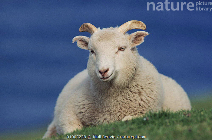 Domestic sheep, Shetland, Scotland  ,  ANTELOPES, ARTIODACTYLA, BOVIDS, EUROPE, GOATS, LIVESTOCK, MAMMALS, PORTRAITS, SCOTLAND, SHEEP, UK, VERTEBRATES, WHITE,United Kingdom  ,  Niall Benvie
