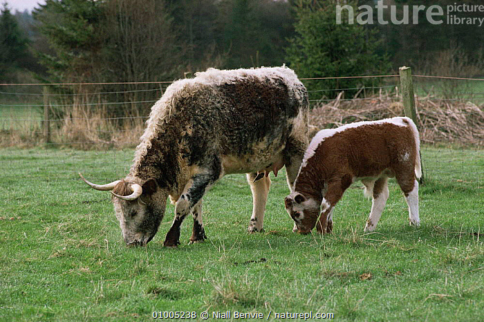 Domestic Short Horn cow and calf (Bos taurus) Scotland. Shorthorn, ARTIODACTYLA,BOVIDS,CATTLE,FAMILIES,FARMLAND,FEEDING,MAMMALS,SCOTLAND,VERTEBRATES,Europe, Niall Benvie