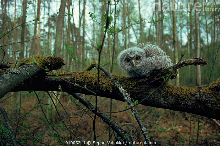Tawny Owl juvenile on fallen branch in woodland, Finland.  ,  BIRDS,BIRDS OF PREY,EUROPE,FINLAND,HORIZONTAL,JUVENILE,OWLS,RAPTOR,SCANDINAVIA,WOODLANDS  ,  Seppo Valjakka