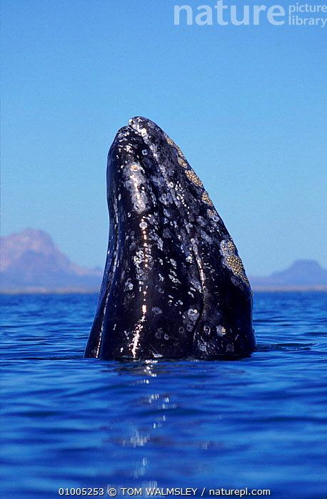 Grey whale 'spy hopping'. Baja California, Mexico, BAJA,CENTRAL AMERICA,CETACEA,HEADS,MAMMALS,MARINE,OUTSTANDING,,PORTRAITS,TW,VERTICAL ,PACIFIC OCEAN, TOM WALMSLEY
