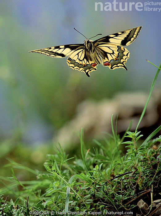 Swallowtail butterfly in flight, Germany.  ,  EUROPE,FLYING,GERMANY,HK,INSECTS,OUTSTANDING,VERTICAL,INVERTEBRATES,LEPIDOPTERA  ,  Hans Christoph Kappel