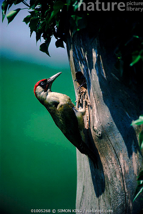 Green Woodpecker at nest hole with young chick. England  ,  BIRDS,CHICK,ENGLAND,FAMILIES,FEEDING,HOLE,NEST,PARENTAL,SK,TREE,VERTICAL,EUROPE  ,  SIMON KING