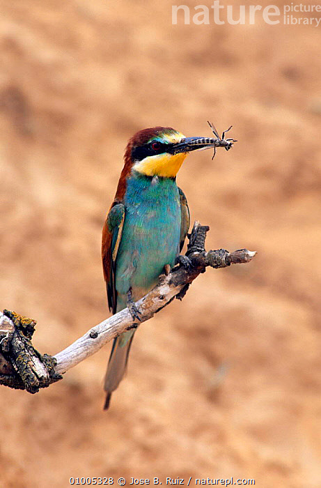 European Bee Eater (Merops apiaster) with insect on perch. Spain, BEE EATERS,BIRDS,EUROPE,PERCH,PORTRAITS,PREDATION,SPAIN,VERTEBRATES,Behaviour, Jose B. Ruiz