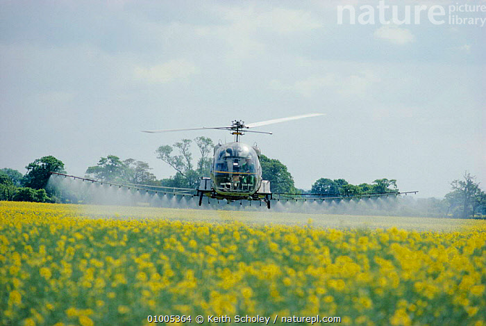 Helicopter spraying pesticide on oil seed rape. England Humberside, EUROPE,PESTICIDES,AGRICULTURE,POLLUTION,MACHINERY,PLANTS,UK,UNITED KINGDOM,BRITISH, Keith Scholey