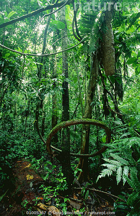 Liana and ant nest hanging down from tree, interior view of tropical rain forest, Ecuador, South America, AMAZON,CLIMBERS,GREEN,HABITATS,INSECTS,INTERIOR,LEAVES,LLANAS,LUSH,NESTS,PLANTS,SOUTH AMERICA,TREES,TROPICAL,TROPICAL RAINFOREST,UNDERSTOREY,VERTICAL,Invertebrates , understory, Doug Wechsler