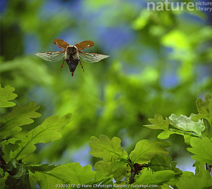 Common cockchafer / Maybug {Melontha melontha} in flight, in front Oak leaves, ACTION,BEETLES,CHAFERS,COLEOPTERA,FLYING,INSECTS,INVERTEBRATES, Hans Christoph Kappel