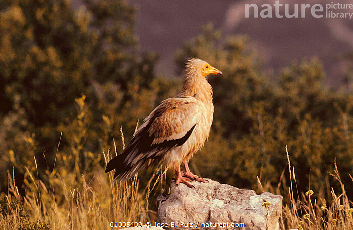 Egyptian vulture (Neophron percnotperus) Spain  ,  BIRDS,BIRDS OF PREY,EUROPE,PROFILE,SPAIN,VERTEBRATES,VULTURES  ,  Jose B. Ruiz