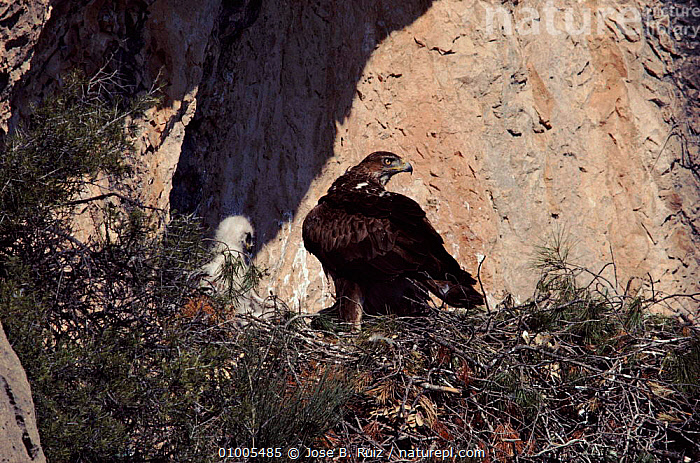Bonelli's eagle and chick at nest, Spain, ,BIRDS,EUROPE,FAMILIES,NEST,RR,SPAIN ,BIRDS OF PREY,EAGLES,RAPTOR, Jose B. Ruiz