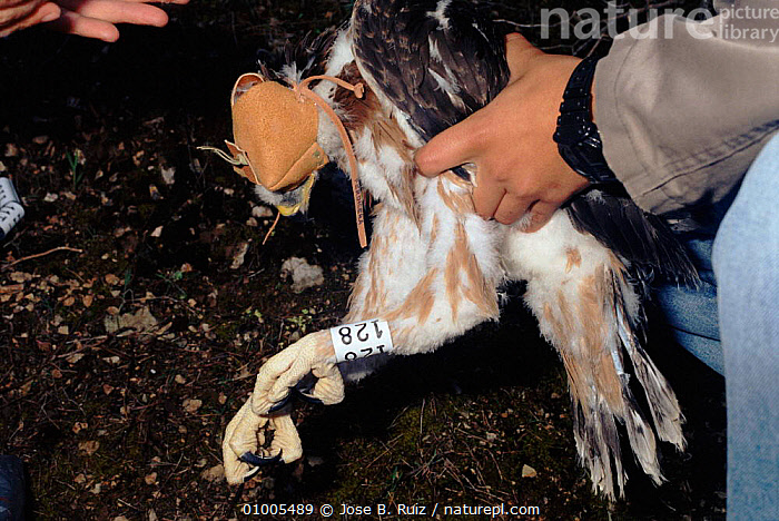 Bonelli's eagle being ringed for research purposes, Spain, ,BIRDS,EUROPE,PEOPLE,RESEARCH,RINGED,RR,SPAIN ,BIRDS OF PREY,EAGLES,RAPTOR, Jose B. Ruiz