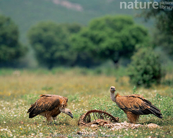 Griffon vultures at carcass (Gyps fulvus) Spain, BIRDS,EUROPE,FEEDING,SCAVENGING,SPAIN,VERTEBRATES,VULTURES, Bengt Lundberg