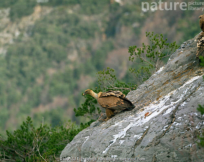 Griffon vulture on rock, Spain (Gyps fulvus)  ,  BIRDS,EUROPE,SPAIN,VERTEBRATES,VULTURES  ,  Bengt Lundberg