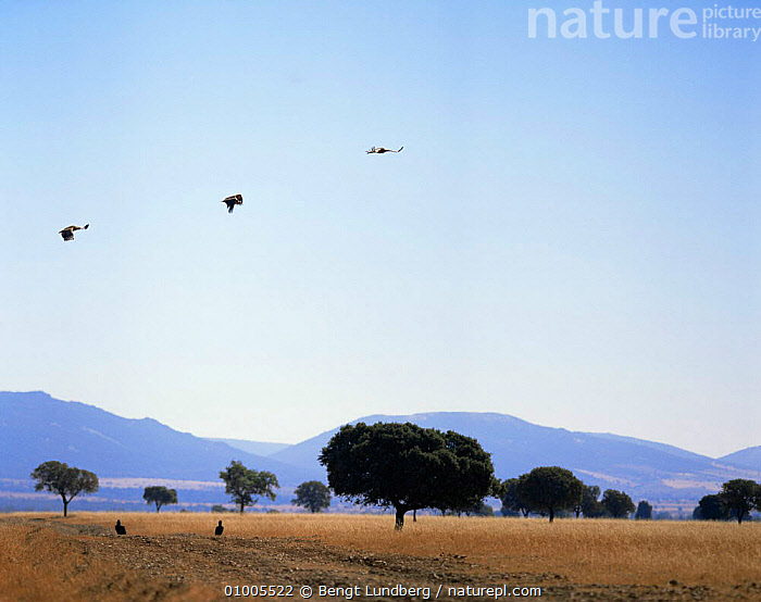 Griffon vultures in flight (Gyps fulvus) Spain, BIRDS,EUROPE,FLYING,SPAIN,VERTEBRATES,VULTURES, Bengt Lundberg