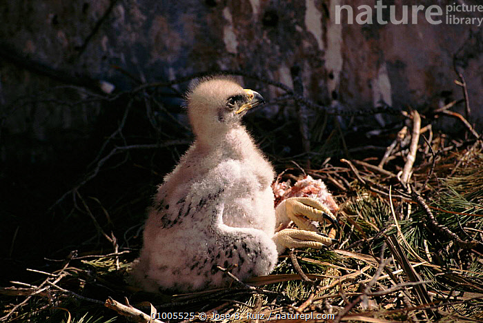 Bonelli's eagle chick with food in nest, Spain  ,  BABIES,,BIRDS,CHICK,EUROPE,FEEDING,HORIZONTAL,NEST,RR,SPAIN ,BIRDS OF PREY,EAGLES,RAPTOR  ,  Jose B. Ruiz