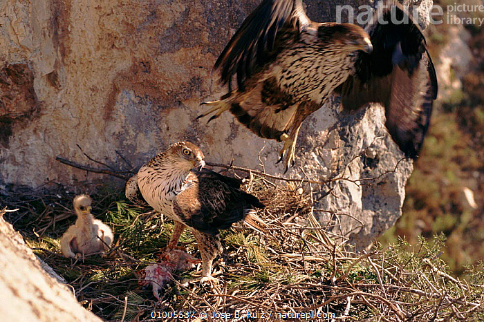 Bonelli's eagle family at nest, Spain, ,BIRDS,FAMILIES,FAMILY,FLYING,HORIZONTAL,NEST,RR,SPAIN ,BIRDS OF PREY,EUROPE,EAGLES,RAPTOR, Jose B. Ruiz