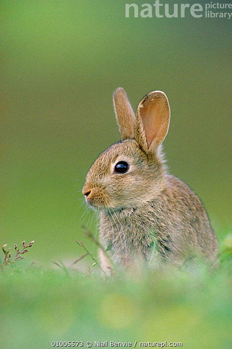 Young rabbit portrait (Oryctolagus cuniculus)  ,  BRITISH,CUTE,EUROPE,JUVENILE,MAMMALS,OUTSTANDING,PORTRAITS,RABBITS,SCOTLAND,WILDLIFE,LAGOMORPHS  ,  Niall Benvie