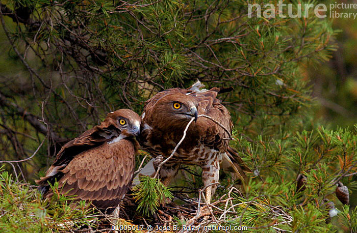 Short toed eagle with chick at nest, Spain, ,BIRDS,CHICK,EUROPE,FAMILIES,HORIZONTAL,JUVENILE,NESTING BEHAVIOUR,RR,SPAIN,TWO ,BIRDS OF PREY,REPRODUCTION,EAGLES,RAPTOR, Jose B. Ruiz