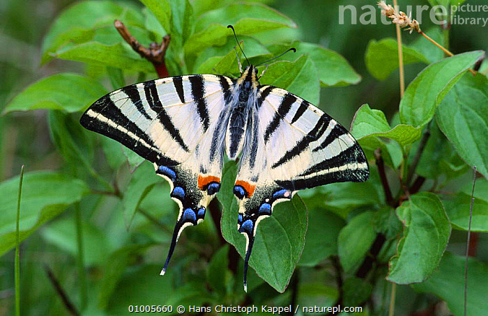 Scarce Swallowtail butterfly (Iphiclides podalirius) Europe  ,  INSECTS,BUTTERFLIES,GERMANY,LEPIDOPTERA,Europe,Invertebrates  ,  Hans Christoph Kappel