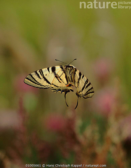 Scarce swallowtail butterfly flying  ,  EUROPE,FLYING,GERMANY,HK,INSECTS,OUTSTANDING,VERTICAL,INVERTEBRATES,LEPIDOPTERA  ,  Hans Christoph Kappel