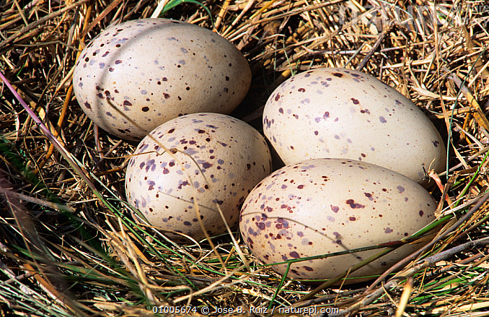 Purple swamphen / gallinule (Porphyrio porphyrio) four eggs in nest, Spain, BIRDS,EGGS,EUROPE,FOUR,MOORHENS,NESTS,SPAIN,VERTEBRATES,WATERFOWL,WETLANDS, Jose B. Ruiz