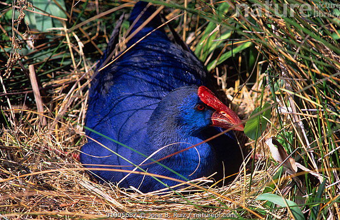 Purple swamphen / gallinule (Porphyrio porphyrio) on ground nest, Spain  ,  BIRDS,BLUE,COLOURFUL,MOORHENS,NESTS,SPAIN,VERTEBRATES,WATERFOWL,Europe  ,  Jose B. Ruiz