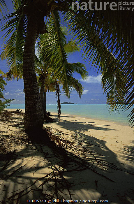 Coconut Palms and coral lagoon. Aitutaki, Cook Islands., BEACHES,COASTS,PACIFIC ISLANDS,PALMS,TREES,Plants, Phil Chapman