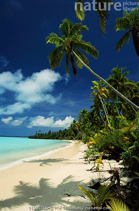 Coconut Palms, beach and coral lagoon. Aitutaki, Cook Islands., 2655,AITUTAKI,BEACHES,COASTS,COCONUT,CONCEPTS,CORAL,HOLIDAYS,LAGOON,PALMS,PCH,PLANTS,THE SEA,TREES, Phil Chapman