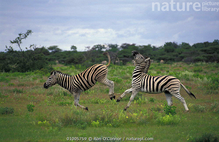 Common Zebra males kicking. (Equus quagga) Etosha NP Namibia  ,  DOMINANCE,KICKING,MAMMALS,FIGHTING,SAVANNA,SOUTHERN AFRICA,ZEBRAS,GRASSLAND,AGGRESSION,EQUINES,Concepts  ,  Ron O'Connor