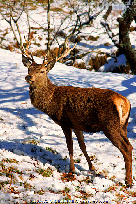 Red Deer Stag portrait. Scotland  ,  EUROPE,HIGHLANDS,MALES,MAMMALS,PORTRAITS,SCOTLAND,SK,SNOW,STAG,UK,VERTICAL,WINTER,UNITED KINGDOM,BRITISH  ,  SIMON KING