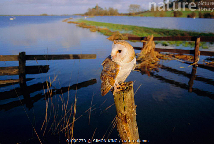 Barn Owl perched on post with flooded Somerset levels, England  ,  BIRDS,BIRDS OF PREY,LANDSCAPES,OWLS,PORTRAITS,Raptor  ,  SIMON KING