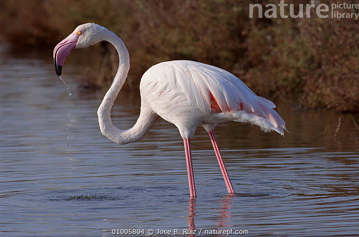 Greater Flamingo wading in shallows, Spain, BIRDS,COASTS,EUROPE,HORIZONTAL,PINK,PROFILE,RR,SALTMARSHES,SPAIN,,WATER ,WADING BIRDS, Jose B. Ruiz