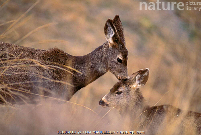 Mule deer with young. Montana (Odocoileus hemionus) USA., CUTE,FAMILIES,OUTSTANDING,PARENTAL,MAMMALS,USA,YOUNG,NORTH AMERICA, TOM MANGELSEN