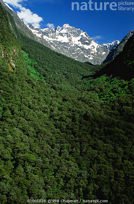 Southern Beech (Nothofagus) forest, Fjordland, South Island, New Zealand, NEW ZEALAND,LANDSCAPES,MOUNTAINS,TREES,NOTHOFAGUS,Plants, Phil Chapman