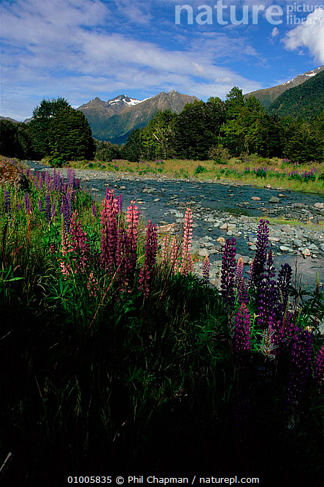 Lupins (rapidly spreading introduced species). Southern Alps, South Island, New Zealand  ,  ALPINE,ALPS,FLOWERS,INTRODUCED,ISLAND,LUPINS,MOUNTAINS,PLANTS,RIVERS,SOUTH,SOUTHERN,SPREAD,VERTICAL  ,  Phil Chapman