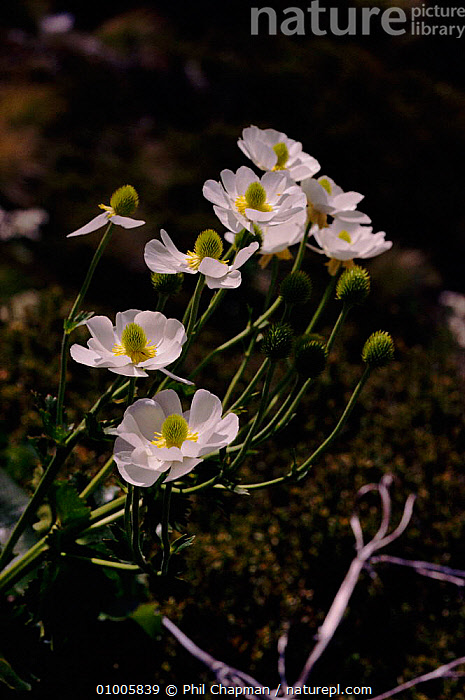 Great mountain buttercup (Mount Cook lily) (Ranunculus lyallii). Mount Cook, New Zealand, ALPINE,COOK,DICOTYLEDONS,FLOWERS,LILY,MOUNT,NEW ZEALAND,PLANTS,VERTICAL,WHITE, Phil Chapman