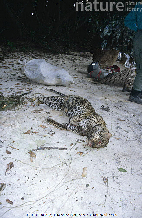 Poached Leopard {Panthera pardus} on river bank, Gabon  ,  BIG CATS,CARNIVORES,CATS,DEAD,DEATH,HUNTING FOOD,LEOPARDS,MAMMALS,PEOPLE,POACHING,VERTEBRATES,VERTICAL,CENTRAL AFRICA,Africa  ,  Bernard Walton
