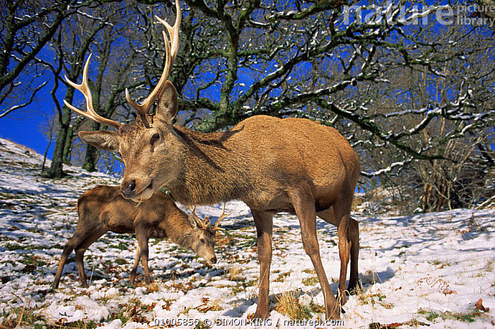 Red deer stags feeding on snow covered ground (Cervus elaphus) Scotland, ANTLERS,ARTIODACTYLA,CERVIDS,DEER,EUROPE,HIGHLANDS,MALES,MAMMALS,PUBLICITY,SCOTLAND,SNOW,UK,VERTEBRATES,WINTER,United Kingdom,British, SIMON KING