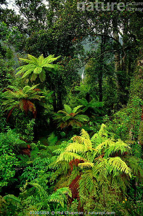 Tree ferns (Cyatheaceae). South Island, New Zealand, ANCIENT,CYATHEACEAE,FERNS,ISLAND,PLANTS,SOUTH,TREE,VERTICAL, Phil Chapman