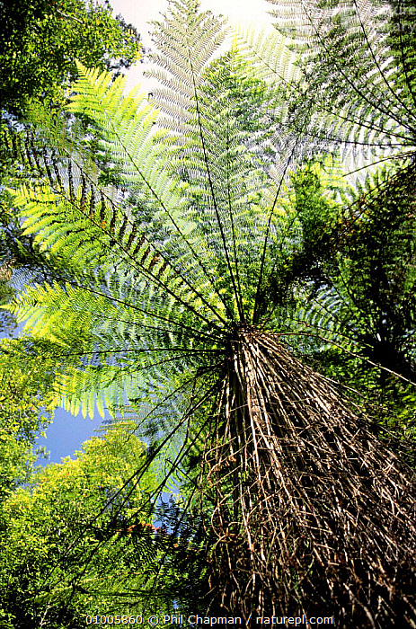 Underside view of Tree ferns (Cyatheaceae) on South Island, New Zealand  ,  AUSTRALASIA,CYATHEACEAE,FERNS,FRONDS,NEW ZEALAND,PLANTS,TREES,TROPICAL,UNDERSIDE,VERTICAL  ,  Phil Chapman