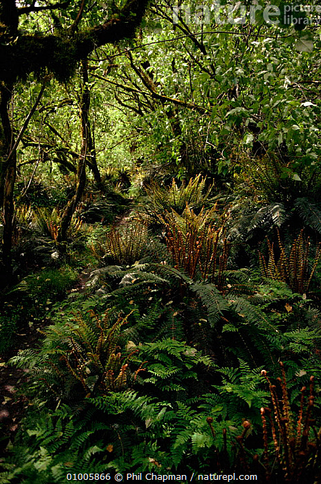 Ferns in Mountain forest. Mount Cook NP, New Zealand, ANCIENT,BROADLEAF,COOK,FERNS,FOREST,MOUNT,MOUNTAIN,NP,PLANTS,VERTICAL,WOODLANDS,NATIONAL PARK, Phil Chapman