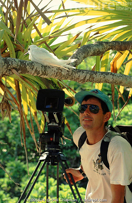 Cameraman Mike Pitts filming white tern on Henderson Island for BBC television series 'Nomads of the Wind'., CAMERA,CAMERAMAN,HENDERSON,IN,ISLAND,MIKE,OCEANIA,PCH,PEOPLE,PITTS,TERN,TRIPOD,VERTICAL,WHITE,WILD, Phil Chapman