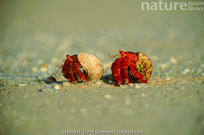 Scarlet land hermit crab. (Coenobita sp) Henderson Island. These crabs specialise in beach life, avoiding conflict with the primary forest-dwelling giant purple land hermit crabs  ,  ARTHROPODS, BEACHES, COASTS, HERMIT CRAB (LAND), OCEANIA  ,  Phil Chapman